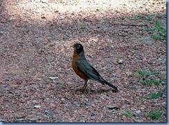 1679 Alberta Lethbridge - Helen Schuler Nature Centre - robin