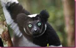 Madagascar Lemure 2