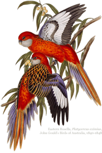 Hero rosellas