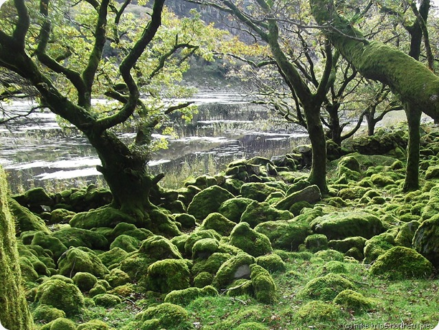 woodland in cwm bychan