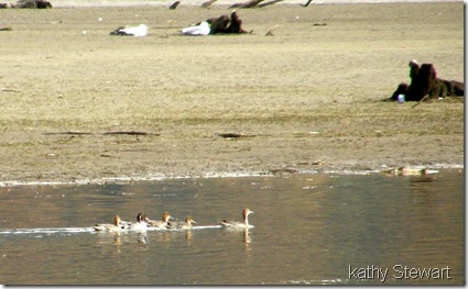 Northern Pintails in foreground
