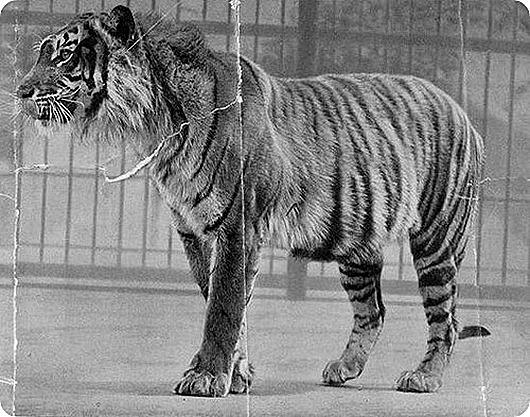 javan_tiger
