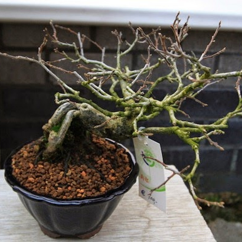 Diospyros kaki as bonsai.