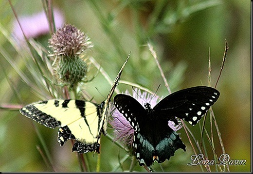 CC_EasternTigerSwallowtail2_BlackSwallowtail_thumb[6]