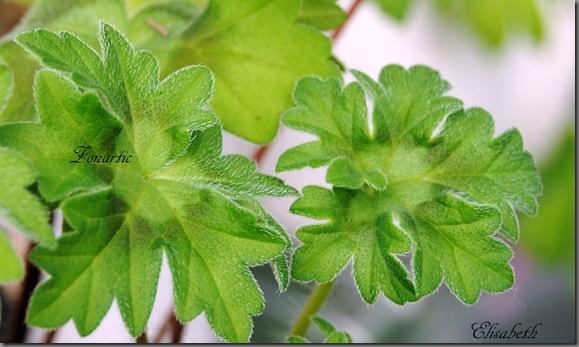 pelargonium i mai 043