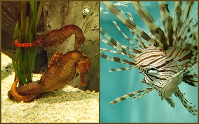 Sea horses lion fish