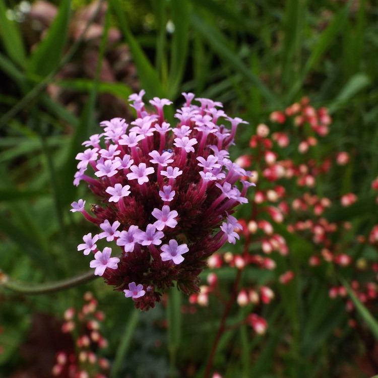 mini purple blooms