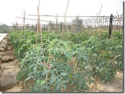 2010年5月のトマト