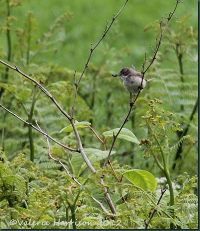 10-whitethroat