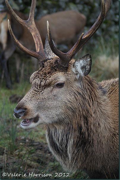 23-red-deer