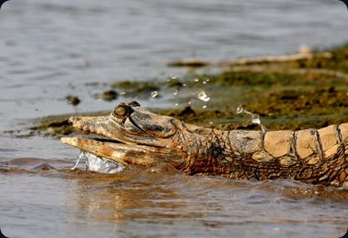 Gharial cut snout Chambal