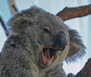 Amazing Pictures of Animals, Photo, Nature, Incredibel, Funny, Zoo, Koala, Phascolarctos cinereus, Alex (8)