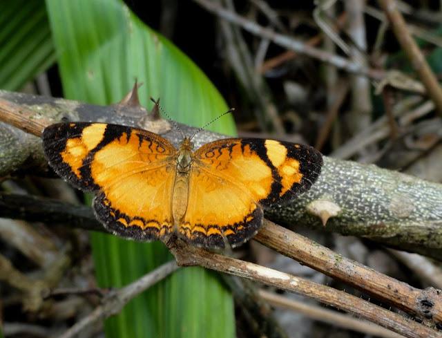 Tegosa claudina (ESCHSCHOLTZ, 1821). Colider (Mato Grosso, Brésil), mai 2011. Photo : Cidinha Rissi