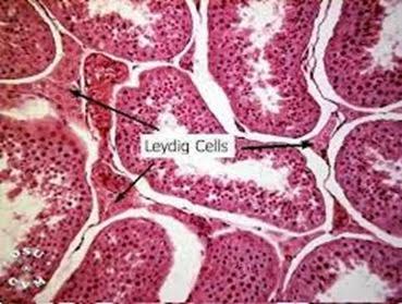 Leydig cells