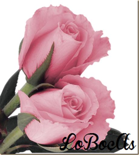 rosas-rosa-LoBocAs-1007
