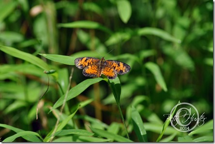 cr-butterfly-4379-
