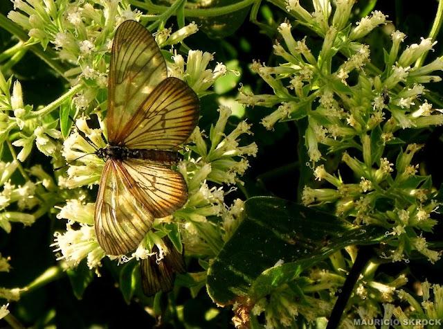 Peut-être : Actinote pellenea calymma Jordan, 1913, femelle. Environs de Curitiba, Paraná. 22 avril 2011. Photo : Mauricio Skrock