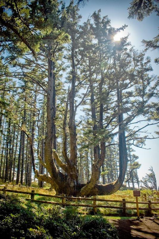 octopus-tree-3