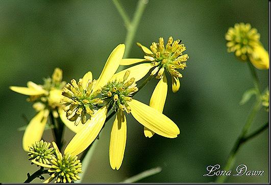 CH_GreenheadedConeflower