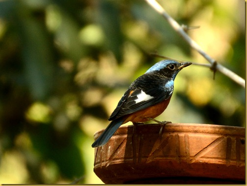 ganeshgudi-blue-capped-rock-thrush