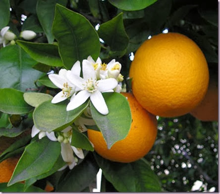 OrangeBlossom-380