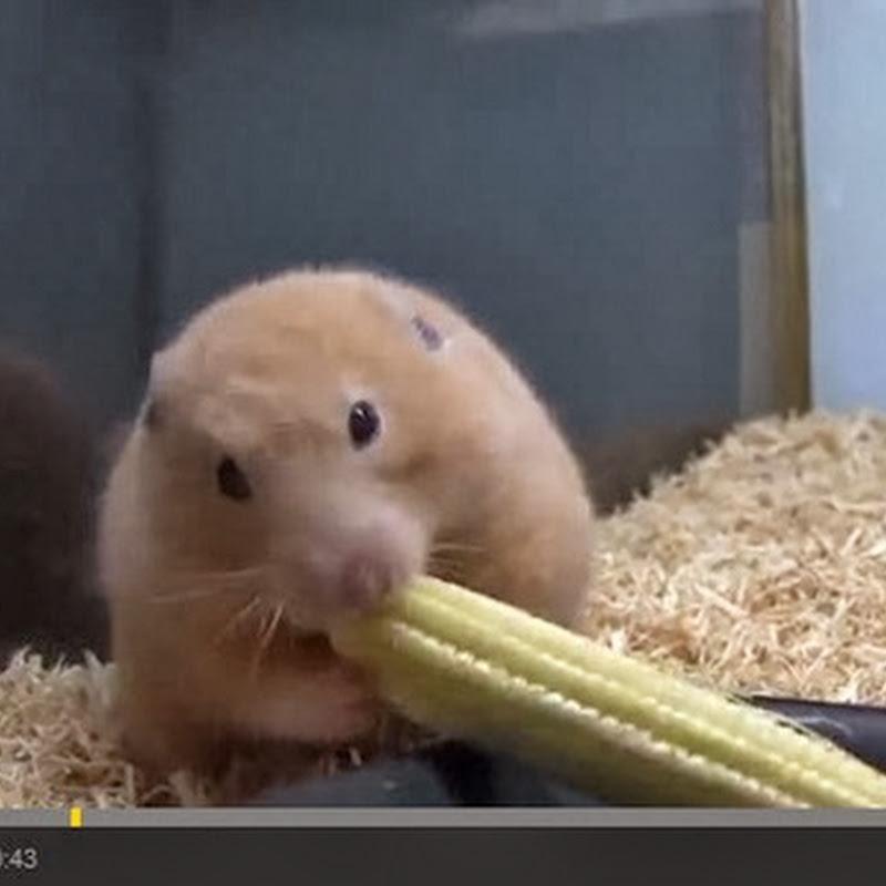 Χαμστερ τρώει καλαμπόκι