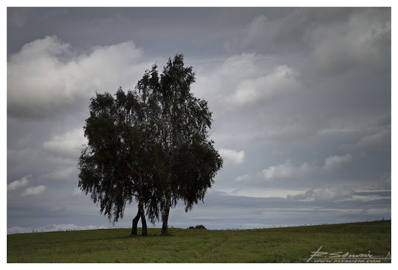 Grunwald. Samotne drzewo na polach Grunwaldu.