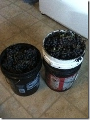 10 gallons grapes