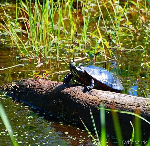 3. turtle-kab