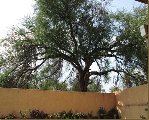 big tree 002