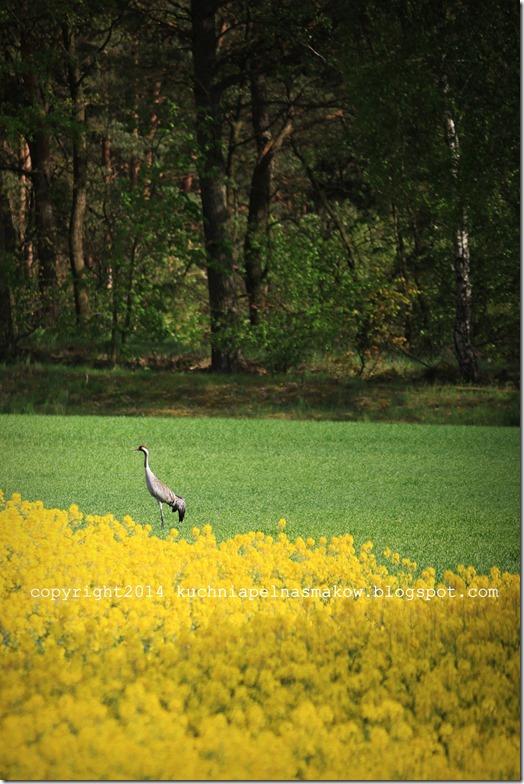 rzepakowe pola (11)