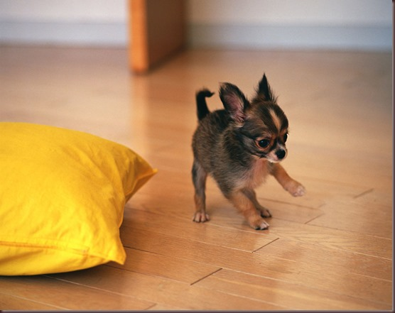 Amazing Animals Pictures Chihuahua (12)
