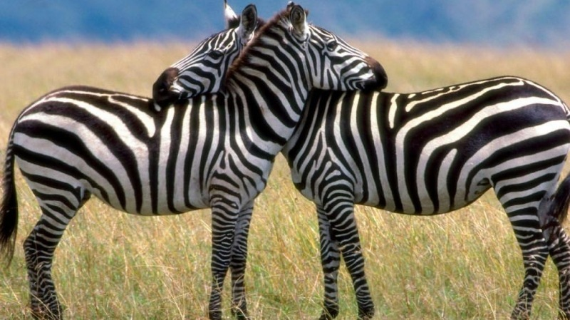 Serengeti-Love,-Burchells-Zebras
