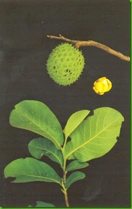 Annona dioica