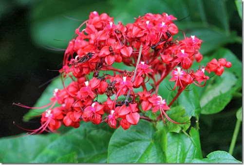 clerodendrum sp.