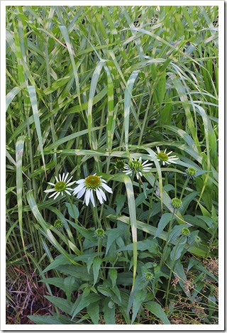 110623_Echinacea-Fragrant-Angel_03