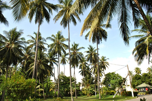sri lanka coconut trees