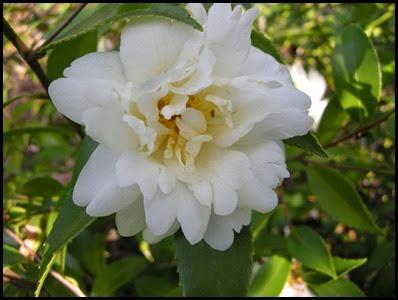 camellia10