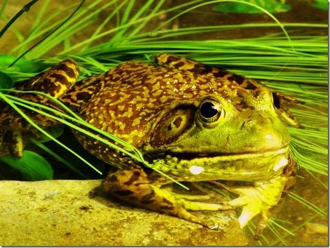 American_bullfrog