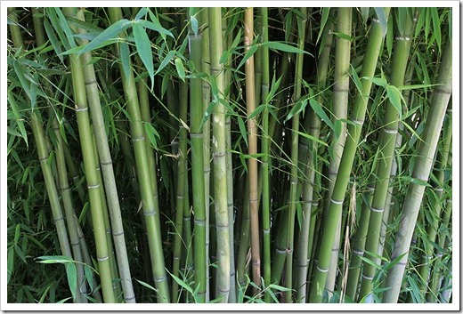 110731_Phyllostachys_bambusoides_12