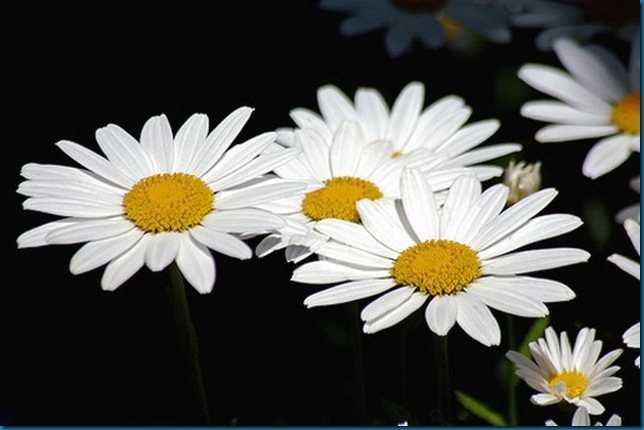 white daisy flowers pic