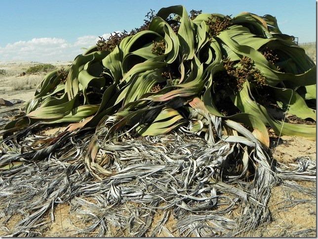 Welwitschia_DSCN6513
