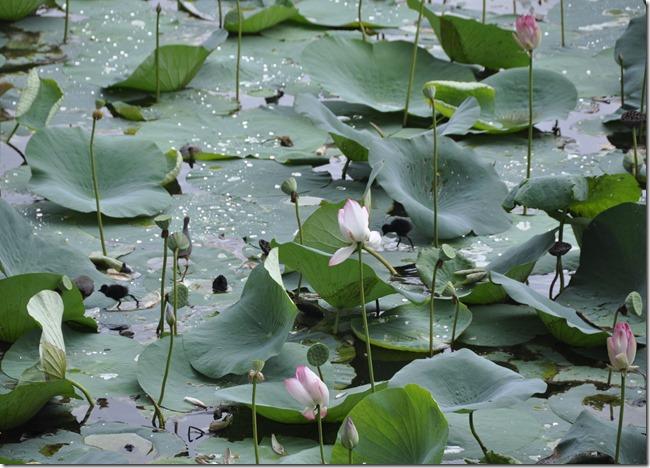 gwalior 086 poussins sur les lotus