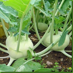 Kohlrabi Early White