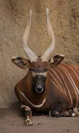 Amazing Pictures of Animals, photo, Nature, exotic, funny, incredibel, Zoo, Western or Lowland bongo, Tragelaphus eurycerus eurycerus, Mammals, Alex  (5)