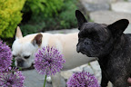 Take a whiff, Franny.  All alliums have a slight onion smell.