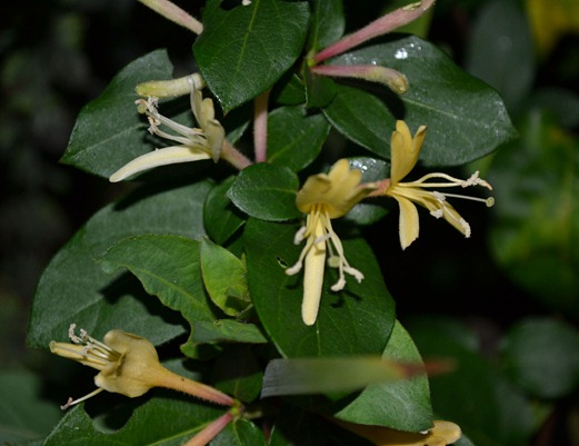 Honeysuckle - woodbine - November 2011 pic 3