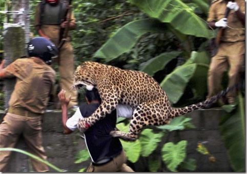 Leopardo-attacca-638x425.2jpg