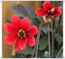 rød dahlia