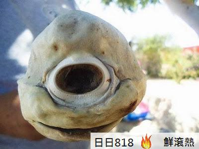 獨眼 鯊魚 畸形
